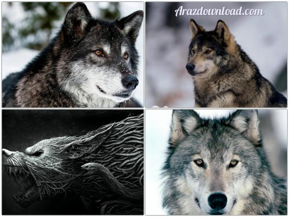 Arazdownload-Wolf-Wallpaper-2.jpg - 50.51 kb